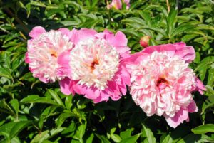 Peonies are considered rich in tradition - they are the floral symbol of China, the state flower of Indiana, and the 12th wedding anniversary bloom.