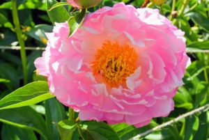 Semi-double peonies are those which have more than one row of petals and an exposed center crown.