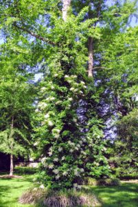 And all the climbing hydrangeas that cover many of the large tree trunks around the farm. It is a vigorous climbing vine that clings to surfaces by aerial rootlets. It has lush green foliage blanketed with magnificent, white lace cap blooms - so pretty.