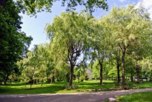 This is the other side of my weeping willow grove. Weeping willow trees are fast growers. They can easily grow 10-feet per year and can dominate the landscape. Their rounded, drooping branches give the tree a distinctive shape.