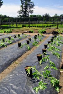 Wilmer already covered the beds with thick, black plastic to make them neat, tidy, and free from weeds. Tomatoes should be planted in an area with full sun and well-drained soil.