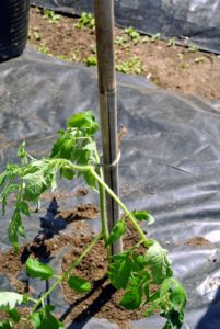 Securing the tomato plants is a time consuming process, but very crucial to good plant growth and performance.