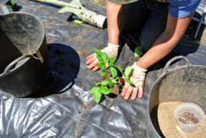 Tomato plants will root along their stems. If the seedling is already too tall and wobbly, dig a trench instead of a hole and lay the plant on its side. The stronger root system also helps the plant better survive the hot weather. This applies to tomatoes planted in the ground, in a raised bed or in a container.