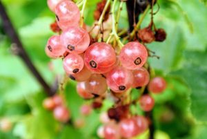 Pink Champagne' currants are pendant clusters of fruits the color of champagne blushed with pink. These currants are less tart than the red, and among the sweetest of all currants.