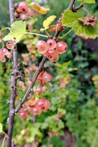 I just love the rich color of these pink currants - so pretty.