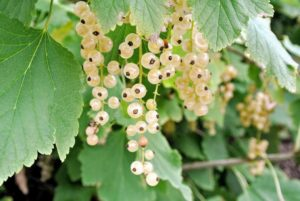 White currants are the sweetest of the three currant colors - sweet, and tart with floral undertones. Although the fruits are the primary source of food from the plant, the leaves and tender, young shoots are also edible.