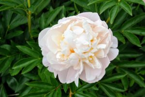 'Brother Chuck' is a classic peony. It is a very strong peony with dark green foliage and full and double white flowers with a slight hint of pink in the center.