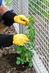 For rose climbers, Ryan gently props the plant against the fence, so it knows where it can attach as it grows.