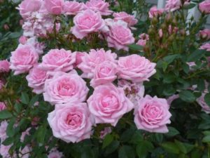 'Jeannie Lajoie' has small, medium pink, hybrid tea shaped blooms all season. It is listed as a climbing miniature rose, but needs little support. It will be an upright bush if left to its own. (Photo courtesy of Northland Rosarium)
