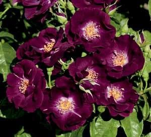 Among the stunning rose plants we received from Northland Rosarium - this purple 'Night Owl' - with clusters of wine-purple, fragrant blooms on a strong growing climber. This plant blooms the first season and the flowers hold their color in the garden. (Photo courtesy of Northland Rosarium)