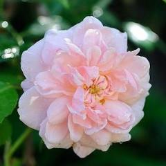 "'Cecile Brunner' is a large growing rose with small light pink, hybrid tea shaped blooms. Often known as the ""Sweetheart Rose"", it has intense fragrance and profuse blooms in spring. (Photo courtesy of Northland Rosarium)"
