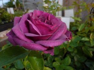 "Tom Carruth, the breeder of this new rose, 'Ebb Tide', describes it to have ""dusky deep purple buds that swirl open to very double old-fashioned flowers of velvet plum washed with a haze of sultry smoke."" This rose has a clove fragrance and beautiful color. (Photo courtesy of Northland Rosarium)"
