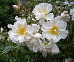 This rose is called 'Lykkefund'. It needs plenty of room to grow. Small blooms of cream and white occur in clusters and literally cover the bush. It has a strong fragrance and blooms in the spring or early summer. Plus -- it is thornless! (Photo courtesy of Northland Rosarium)