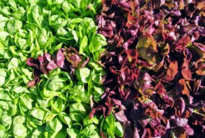 The lettuces look amazing, Lettuces can be generally placed in one of four categories: looseleaf, butterhead, crisphead, and romaine.