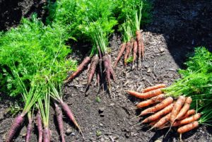 I always like to grow many varieties and colors of carrots! The orange and purple carrots are ready for picking. Most are familiar with the orange carrots, but they also come in red, yellow, white and purple.