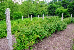 I have several rows of raspberries in this location. They all produce so many fruits every summer.
