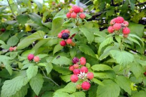Botanically, the raspberry is a shrub belonging to the Rosaceae family, in the genus Rubus.