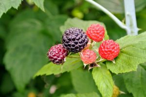 There are more than 200-species of raspberries. In the United States, about 90-percent of all raspberries sold come from the states of Washington, California and Oregon.