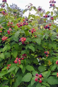 One plant can produce several hundred berries per season.