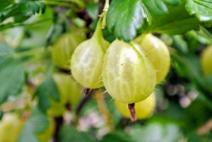 Look at these bright, beautiful gooseberries - so pretty.