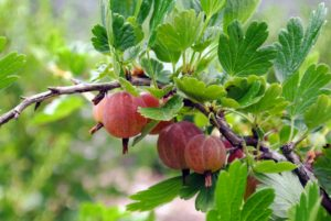 Gooseberries are not difficult to pick, but the stems are thorny, so care must be taken when harvesting the fruits.