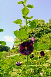 The purple hollyhock, Alcea rosea 'Halo Purple', is rust resistant and can grow up to seven feet tall bearing numerous five-inch blooms. This hollyhock is very hardy and can easily continue flowering until the first frost.