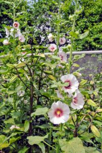 There are so many flowers blooming including this Alcea rosea, also known as hollyhock. The crisp white of its petals work nicely with the pinks and purple-blues. These plants can reach five to eight-feet tall and up to about four feet across.