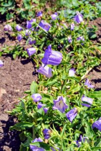 Canterbury bells is a popular plant reaching about two-feet tall. It thrives in full sun to partial shade and appreciates moist, well-draining soil and reasonably cool temperatures.