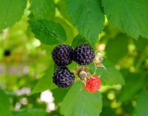 Raspberries are low in calories and fats, but very high in dietary fiber and antioxidants.