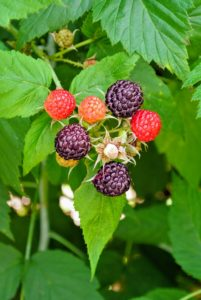 This black raspberry plant is a high producing early variety whose upright growth makes it easy for picking.