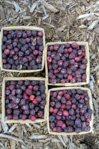 It's hard to resist eating them right after picking but I can't wait to use these berries to make jams and desserts.