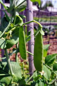 The pea, Pisum sativum, is an annual herbaceous legume in the family Fabaceae.