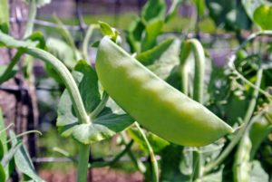 Harvest green peas when pods start to fatten, but before peas get too large.