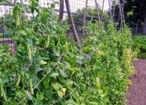 They are best grown on supports to keep them off the ground and away from many pests and diseases. We built several of these trellises last year. They support our peas, as well as our cucumber crops.