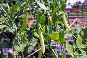 Be careful to pinch peas gently from the vine without tugging because the vines are fragile and easy to break.