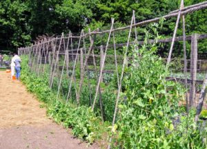 We planted many peas along both sides of our trellis - one side for shelling peas, which need to be removed from their pods before eating, and the other side for edible pods, which can be eaten whole, such as our snap peas.