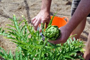 Ryan harvested many globe artichokes, Cynara scolymus - popular in both Europe and the United States. Artichokes are actually flower buds, which are eaten when they are tender.