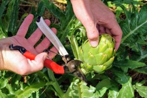 When harvesting, use sharp pruners and carefully cut them from the plant leaving an inch or two of stem. Artichokes have very good keeping qualities and can remain fresh for at least a week.
