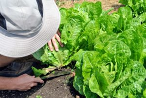 Here, Ryan easily cuts the lettuce at the base. The cutting edge makes a smooth, quick cut.
