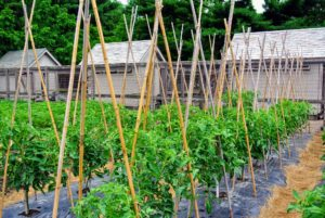 I like to use bamboo canes for my tomato crops. They're easy to buy in bulk, and can be found in a variety of sizes. They should be seven to eight foot tall stakes that are at least an inch in diameter.