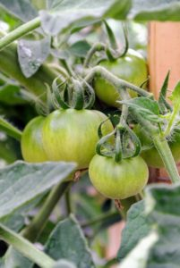Every year, we grow about 100-tomato plants, with about 20-different varieties. Most tomatoes are red, but other colors are possible, including green, yellow, orange, pink, black, brown, white and purple.