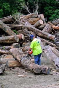 Before any of the large logs go into the tub grinder, Dan saws them into more manageable pieces.