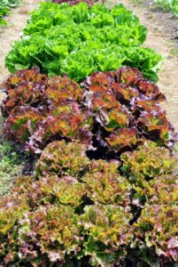 I love all the different colored lettuces. We always grow several varieties. My daughter and grandchildren will have many delicious salads this season.
