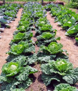 The cabbages will be ready very soon. They are also developing so beautifully.