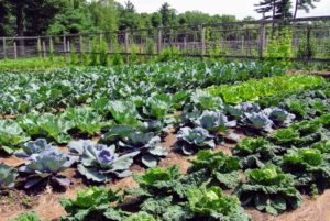 Our crops are already looking strong and vibrant. Many vegetables are ready to harvest.