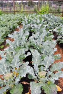 Look at our crop of broccoli - it's growing so fast, and so wonderfully this season.