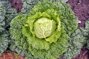 The leaves of the Savoy cabbage are more ruffled and a bit more yellowish in color - so pretty.