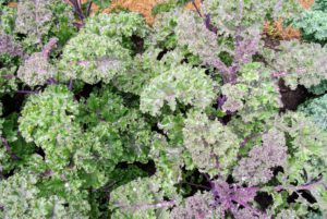 Kale or leaf cabbage is a group of vegetable cultivars within the plant species Brassica oleracea. They have purple or green leaves, in which the central leaves do not form a head.