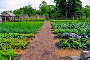My vegetable garden is thriving down by the chicken coops. All the plants are looking so great. I am certain it will be a productive season.
