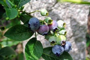 After they are picked, store blueberries unwashed for a few days in the refrigerator in layers of paper towels and covered in plastic wrap up to five days.